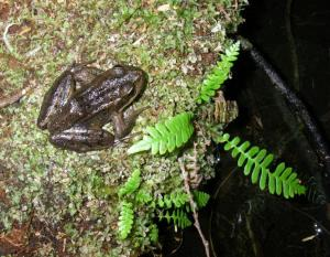 Red Legged Frog - Blue Listed